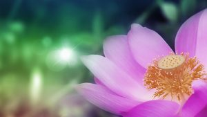high-quality-lotus-flower-wallpaper